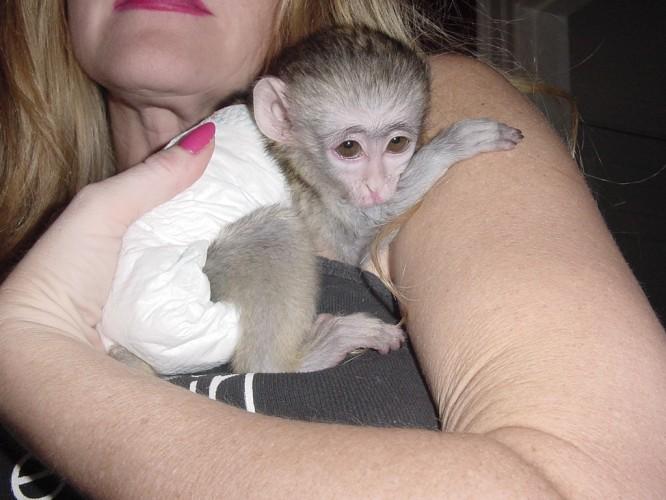 Welcome To Babies Capuchin Monkey - 80.1KB