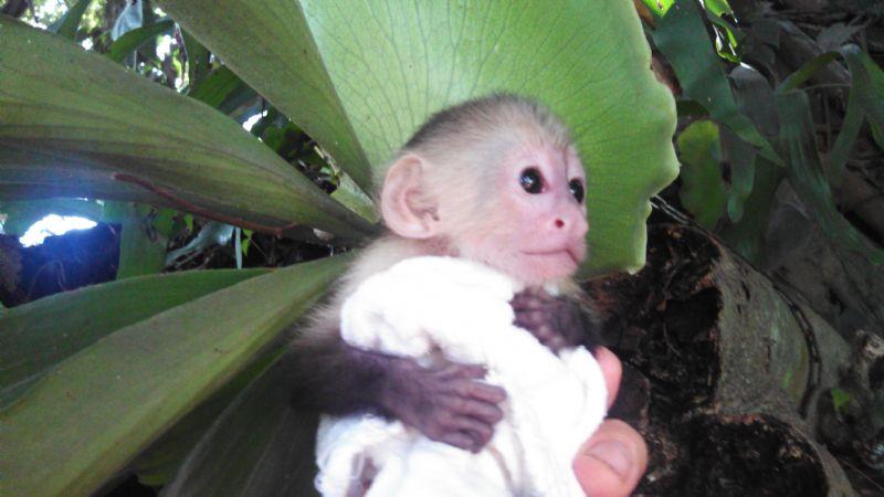 Welcome To Babies Capuchin Monkey - 49.0KB